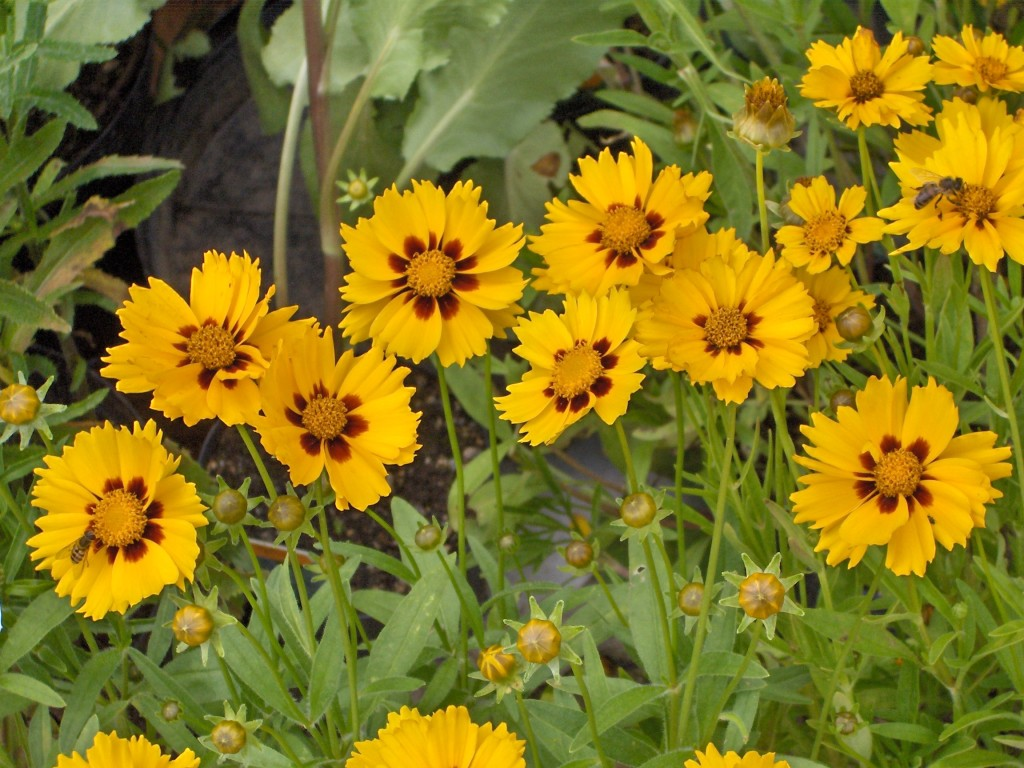 Coreopsis-blue-oak-landscaping-chico-california-drought