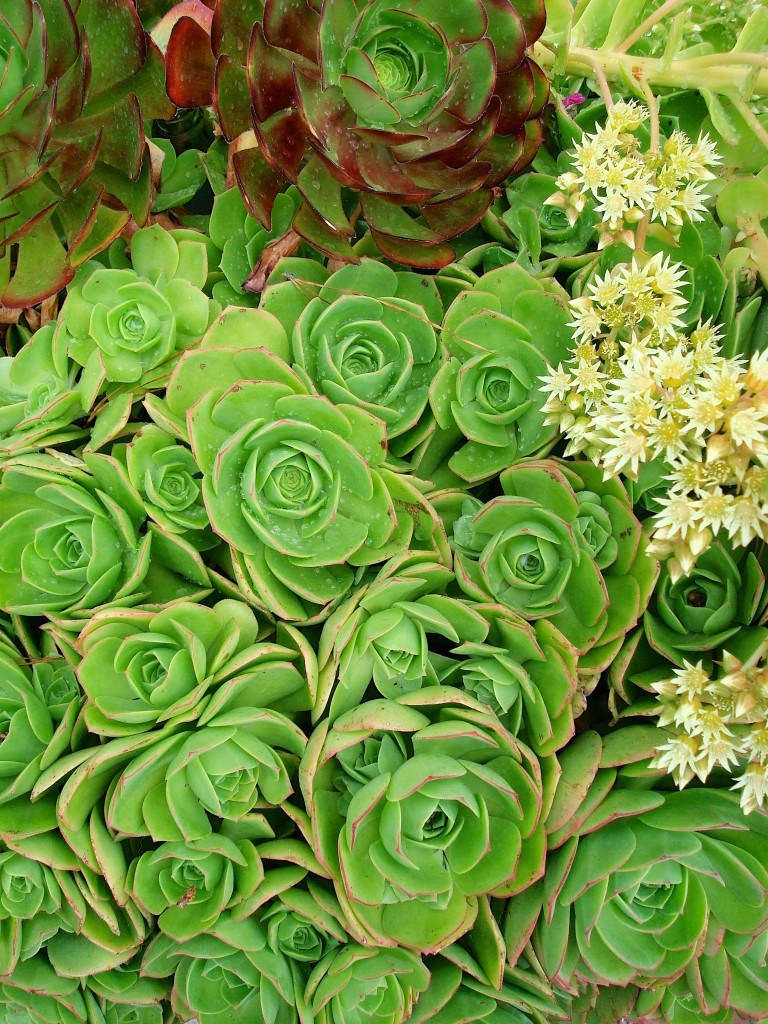 blue-oak-landscaping-chico-california-drought-succulents
