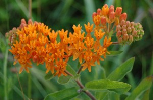 blue-oak-landscaping-butterfly-weed