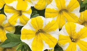 blue-oak-landscaping-chico-Lemon-Slice-Calibrachoa